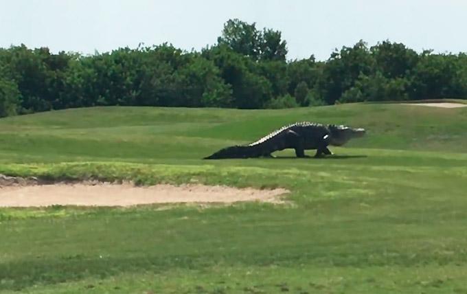 Riesiger Alligator auf Golfplatz in Florida gesichtet