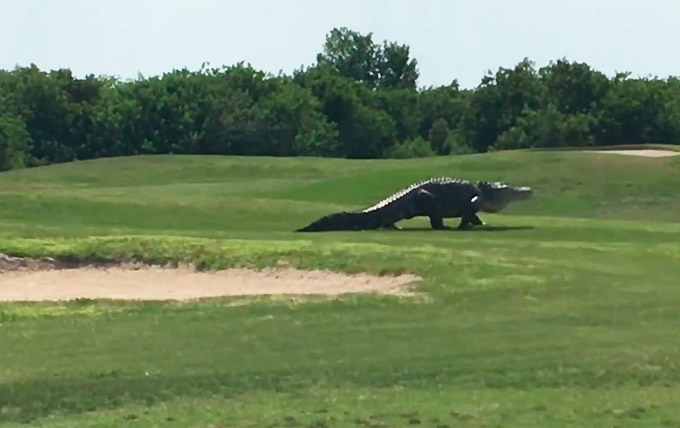 Riesiger Alligator auf Golfplatz in Florida gesichtet